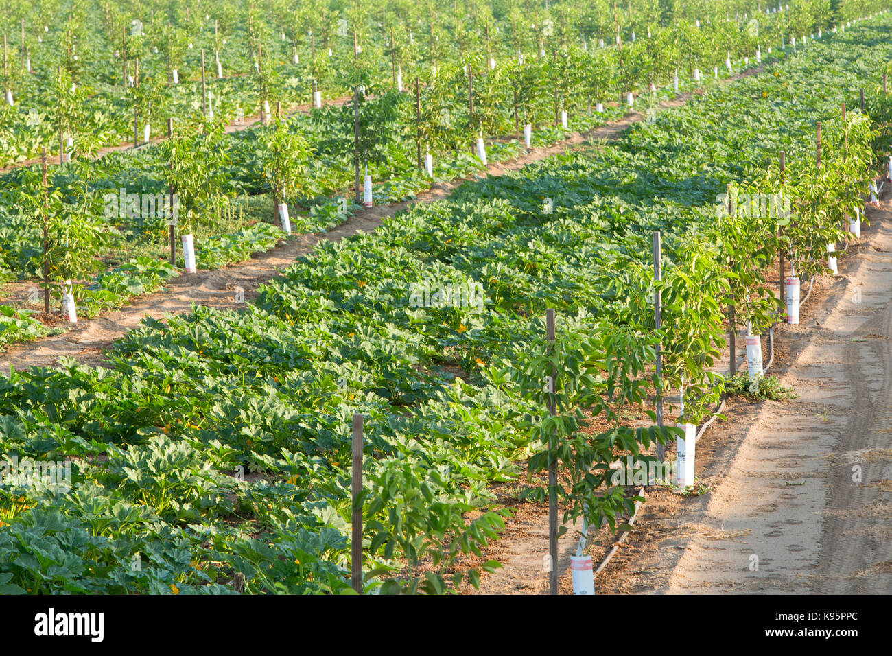 Intercropping, Young English Walnut orchard, Chandler variety Stock