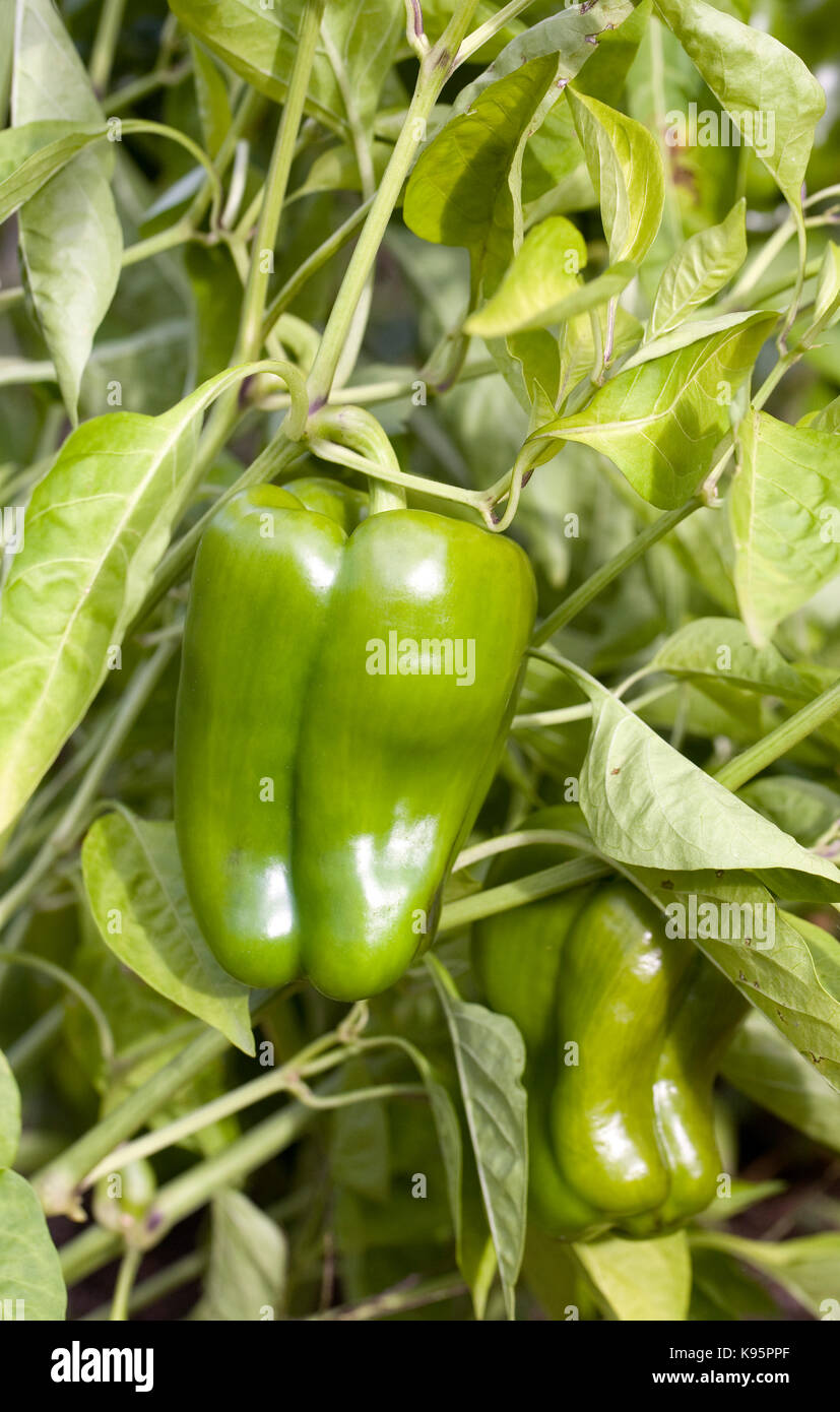 Growing Peppers In Your Vegetable Garden: Sweet Bell Pepper Plant Stock Photos & Sweet Bell Pepper