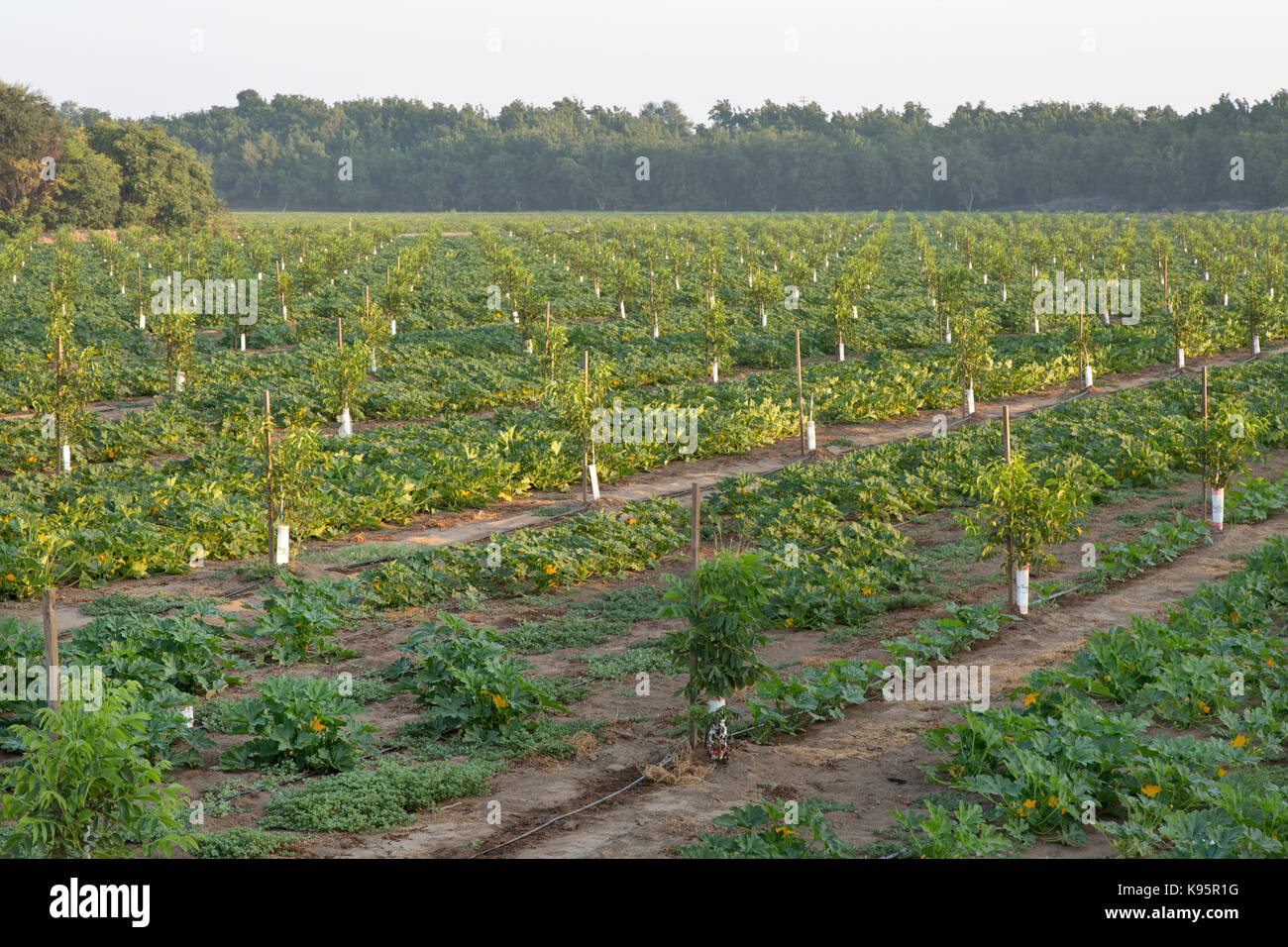 Intercropping,  Young English Walnut orchard, Chandler variety 'Juglans regia'  intercropped with Green - Stock Image