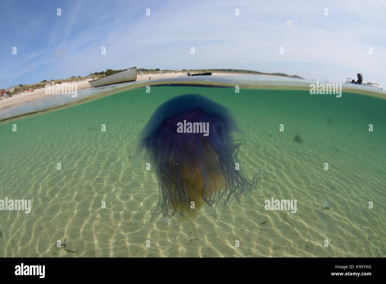 Split level shot of a blue jellyfish off a beach at St Martins, Isles of Scilly, UK - Stock Image