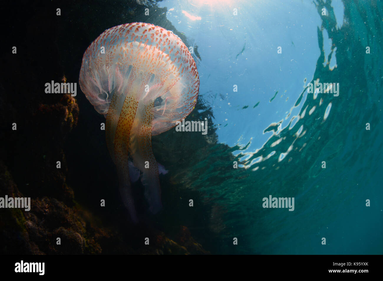 Underwater photo of a mauve stinger jellyfish at Cala Blanca beach , Menorca - Stock Image