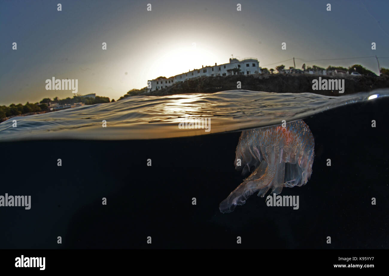 Split level photo of a mauve stinger jellyfish at sunrise at Cala Blanca beach, Menorca - Stock Image
