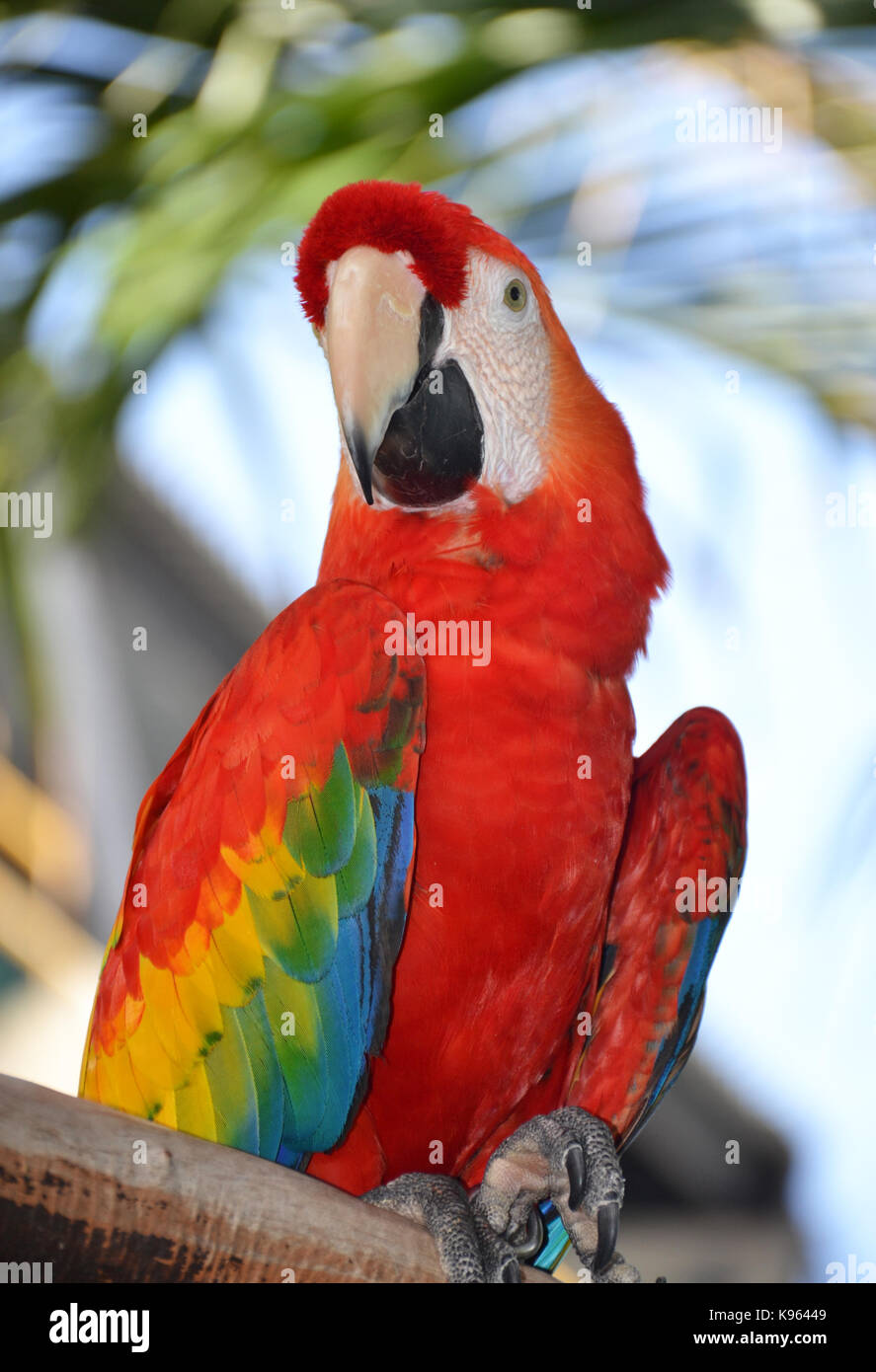 Portrait of Amazon macaw parrot Stock Photo