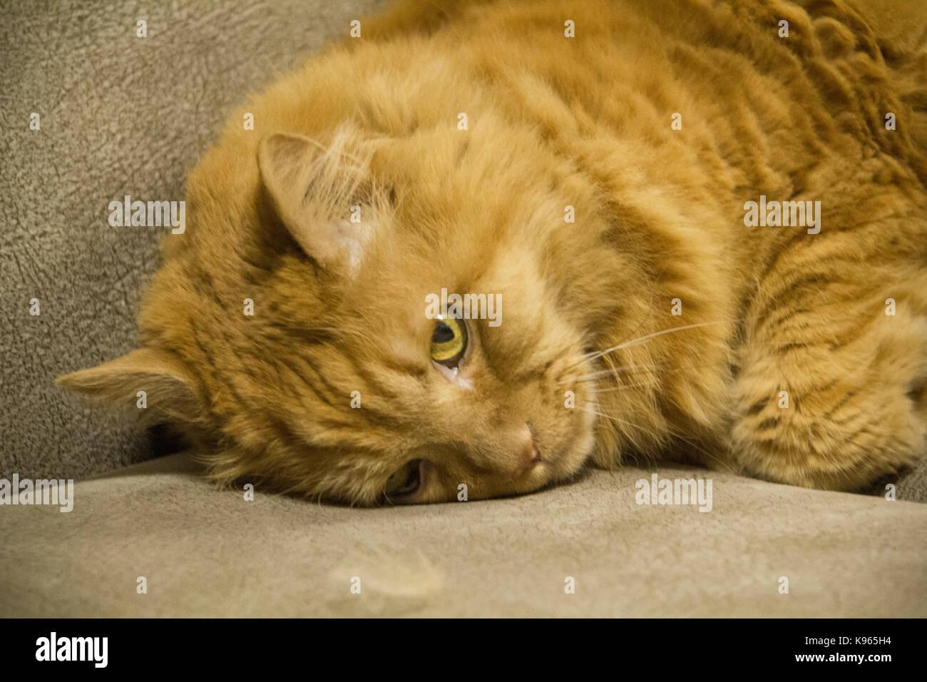Adult persian cat with sad yellow eyes lying on the sofa .Closeup - Stock Image