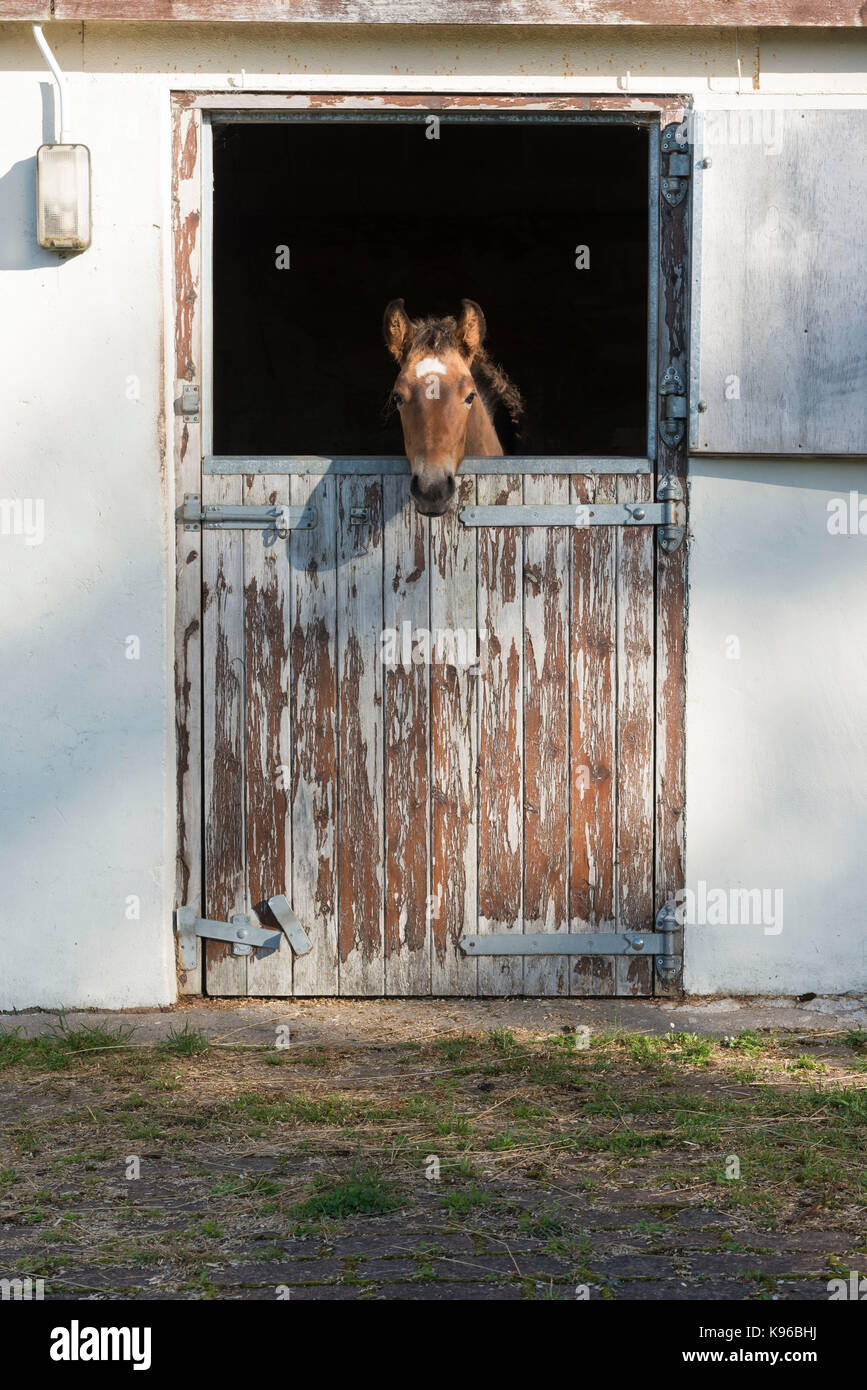 A Lusitano Foal Looks out from his Stables - Stock Image