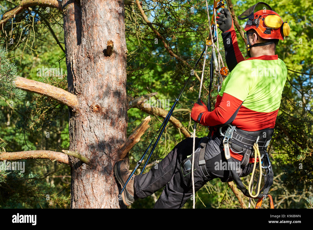 Lumberjack with saw and harness climbing a tree - Stock Image