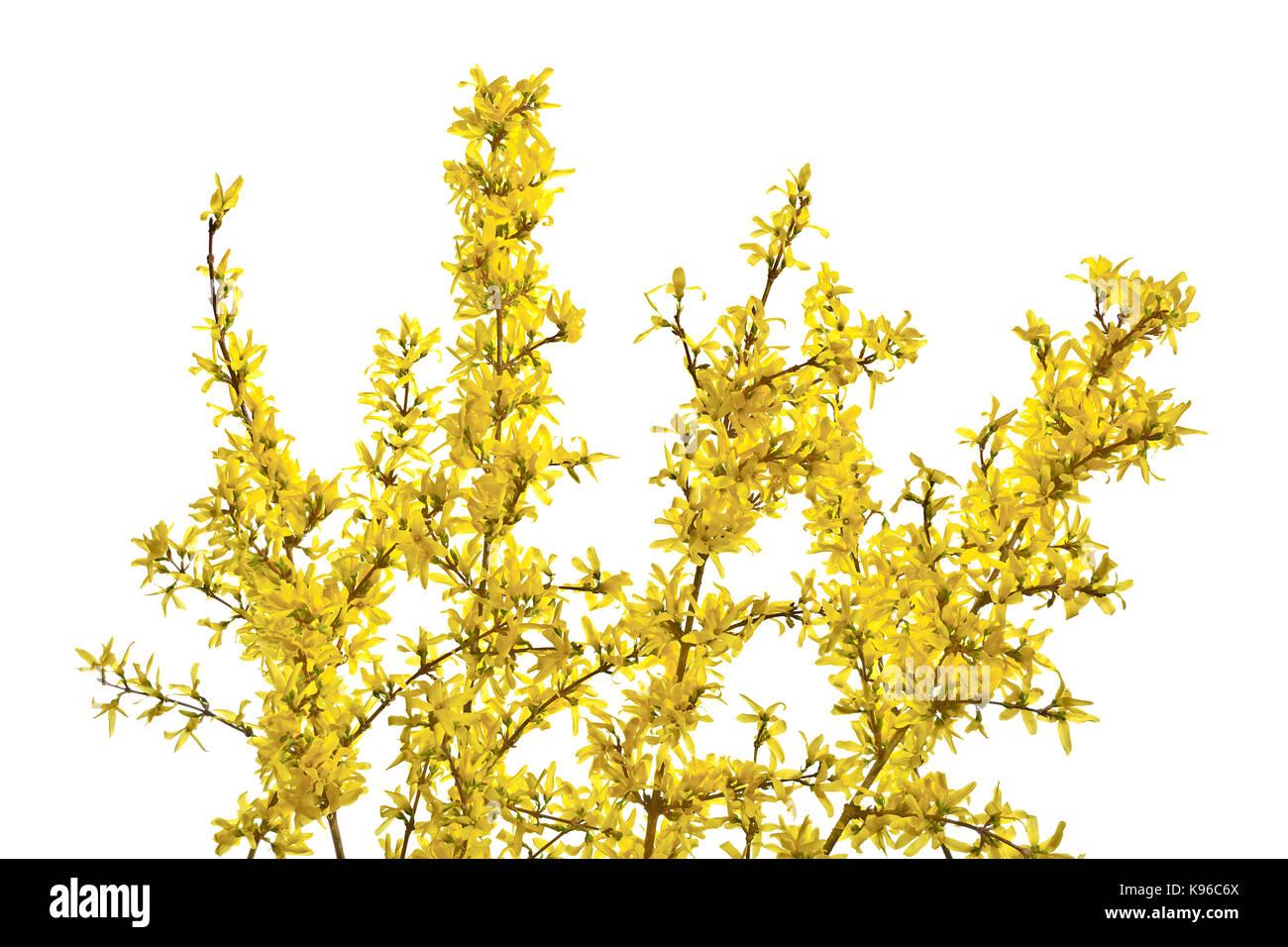 Yellow Flowers On Twigs Stock Photos Yellow Flowers On Twigs Stock