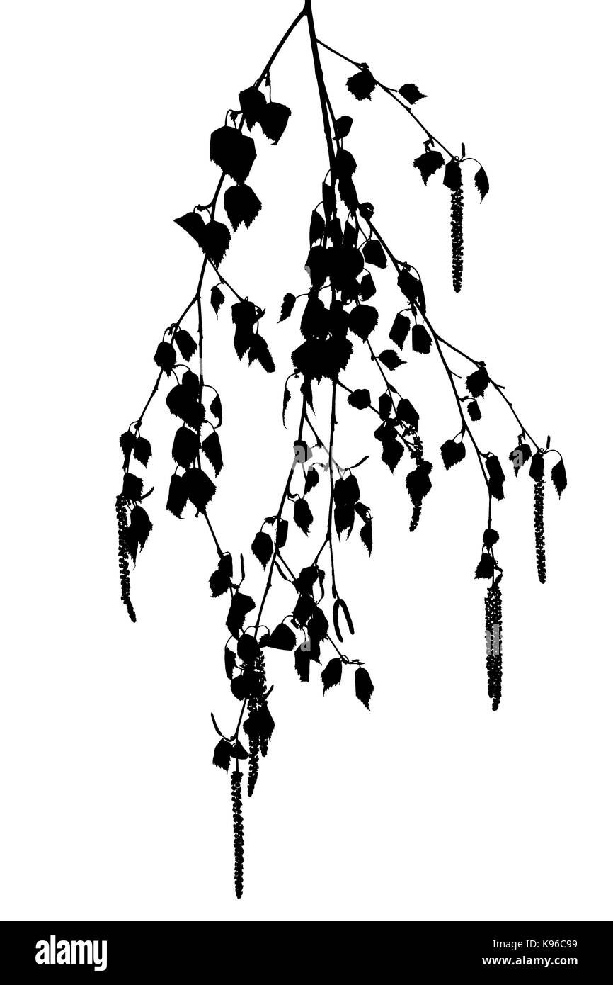 Silhouettes of birch twigs with catkins on a white   background. - Stock Image