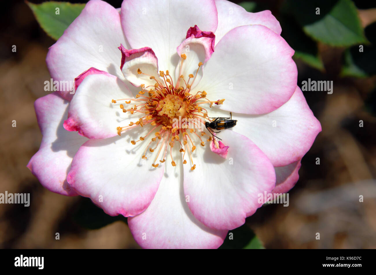 the gardens of the american rose center shreveport louisiana stock photos shreveport louisiana
