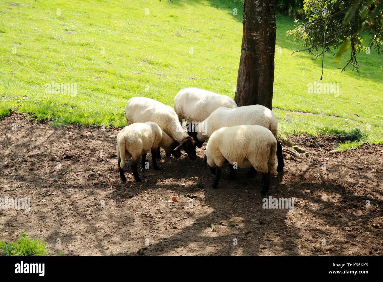 Gruppe Schafe auf der Weide Stock Photo