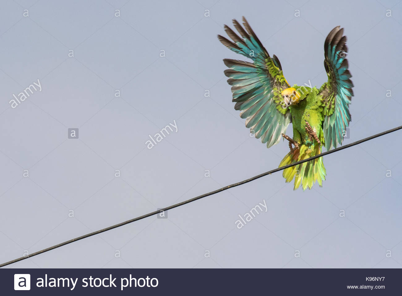 A yellow-shouldered amazon parrot, Amazona barbadensis, landing on a telephone line in the town of Rincon. - Stock Image