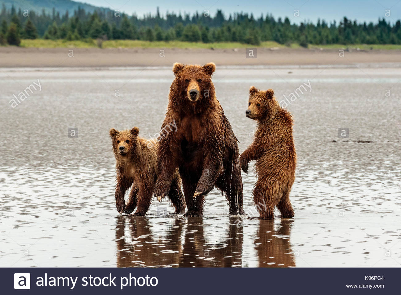 Coastal brown bear, Ursus arctos,  family at Sliver Salmon Creek in Lake Clark National Park, Alaska. - Stock Image
