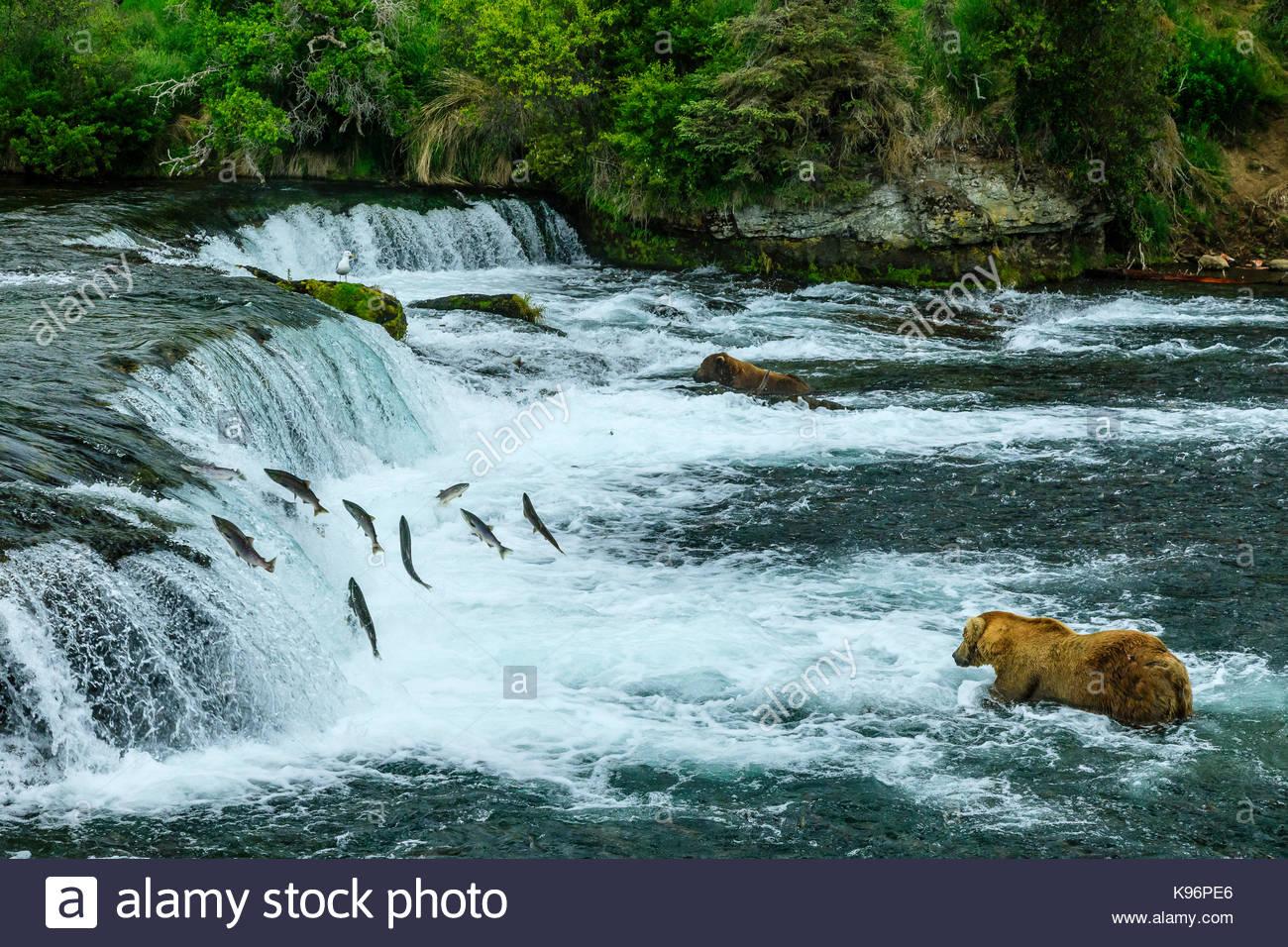 Brown bears, Ursus arctos, fishing for sockeye salmon below Brooks Falls. - Stock Image