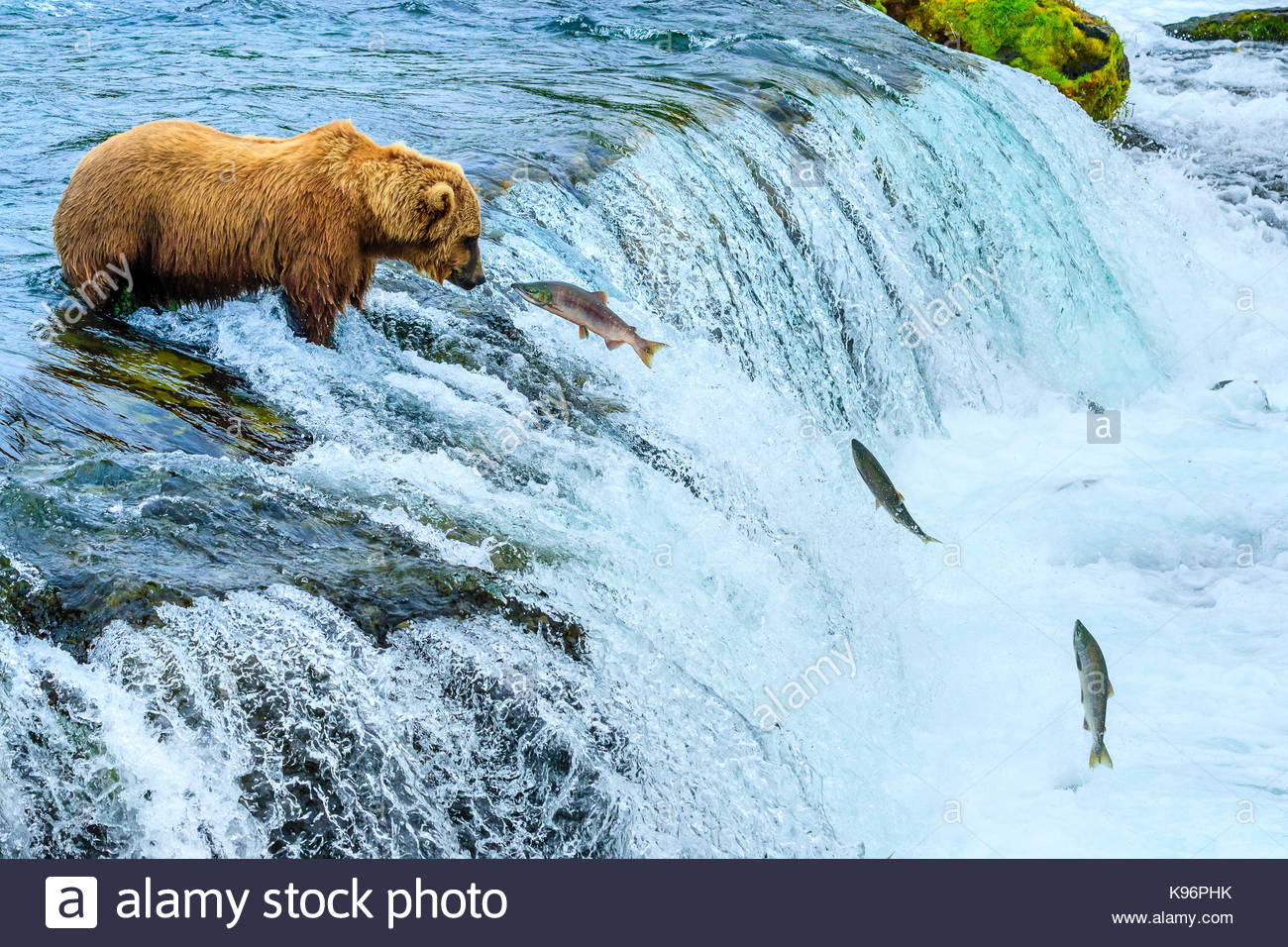 Brown bear, Ursus arctos, fishing for sockeye salmon at Brooks Falls. - Stock Image
