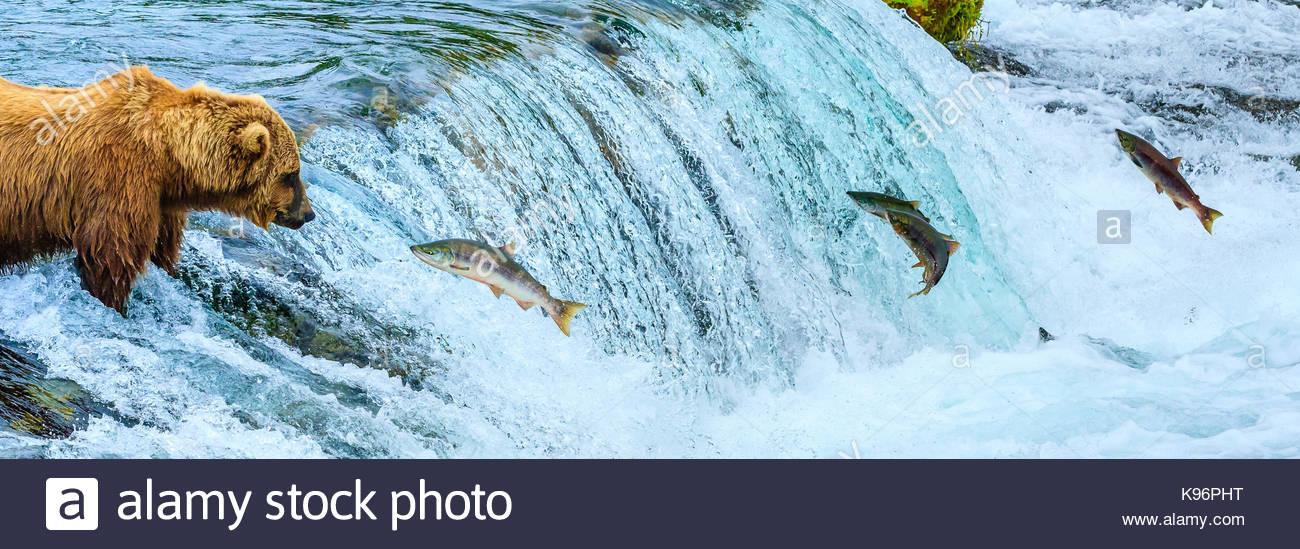 Brown bear, Ursus arctos, fishing for sockeye salmon at Brooks Falls. - Stock Image
