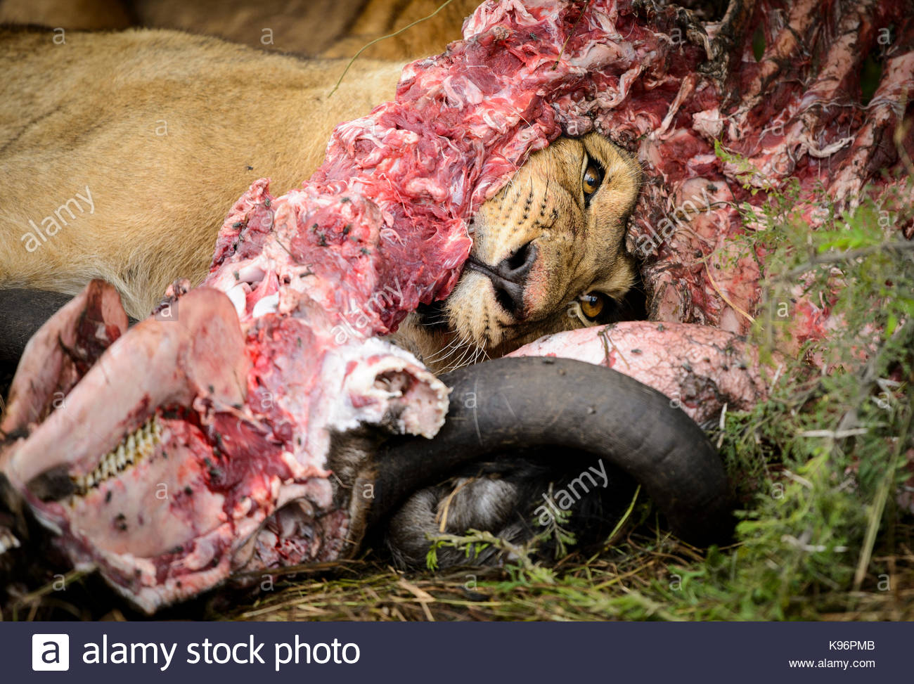 Young lion eating a carcass of a dead wildebeest. - Stock Image