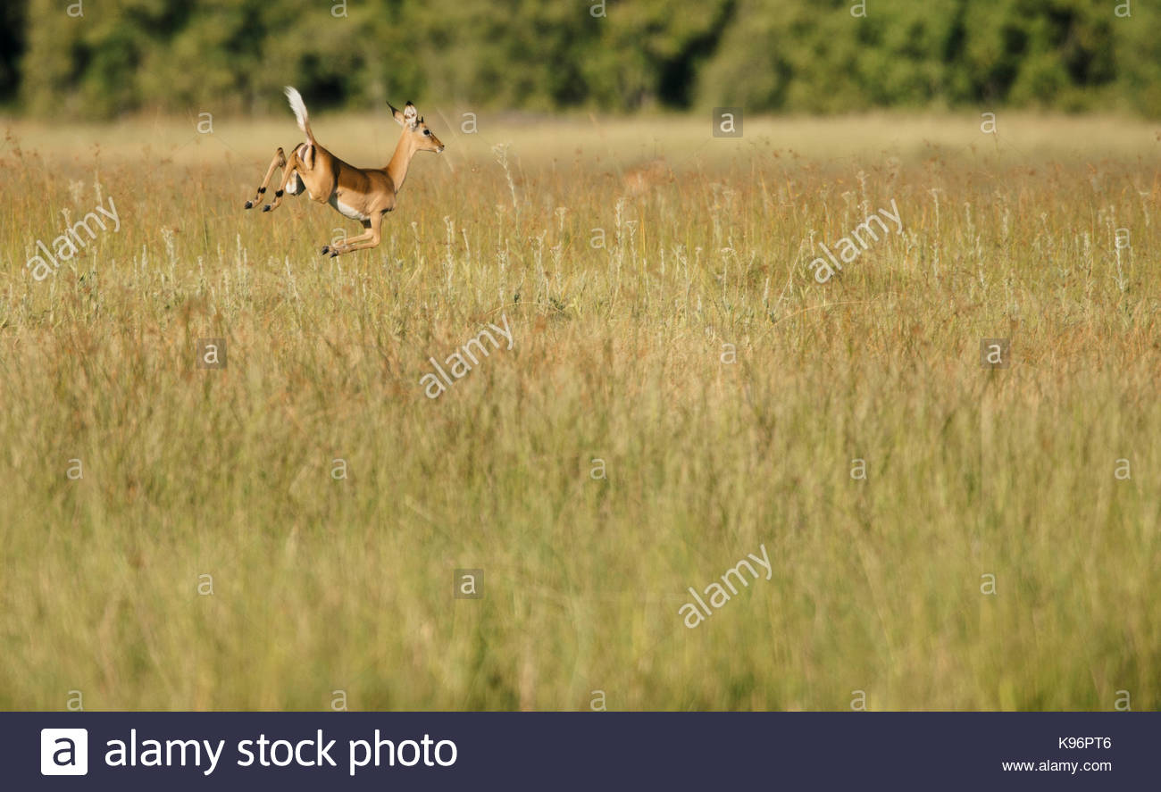 An impala, Aepyceros melampus leaping in high grass. Stock Photo