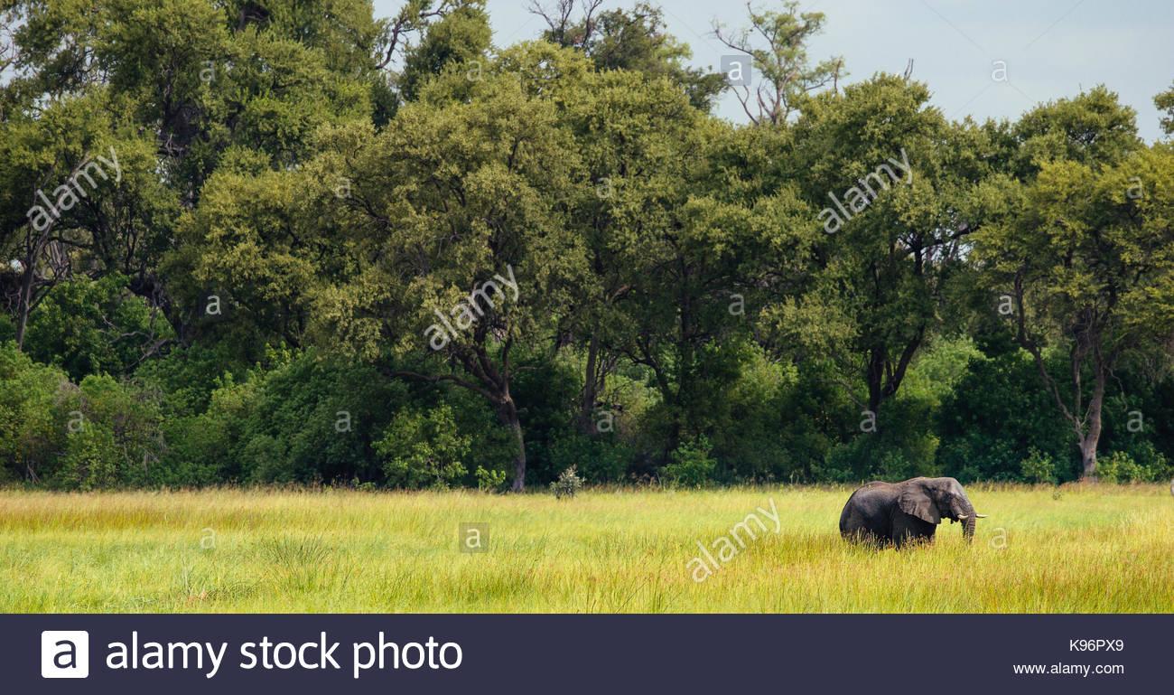 An elephant walks across the verdant Okavango Delta. - Stock Image