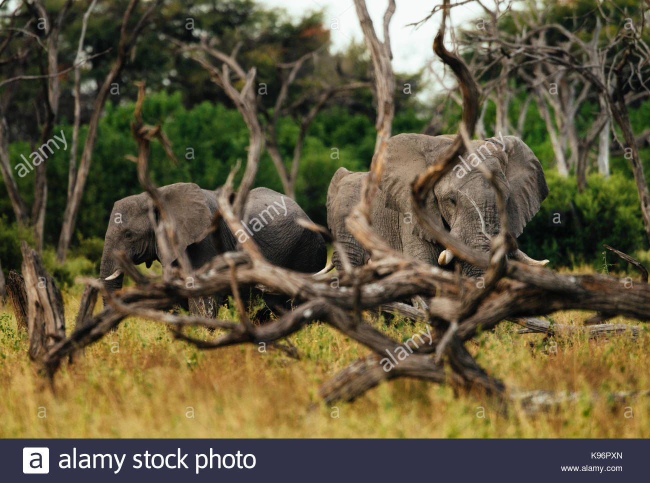 Herd of African elephant, Loxodonda africana, walking in the forest - Stock Image