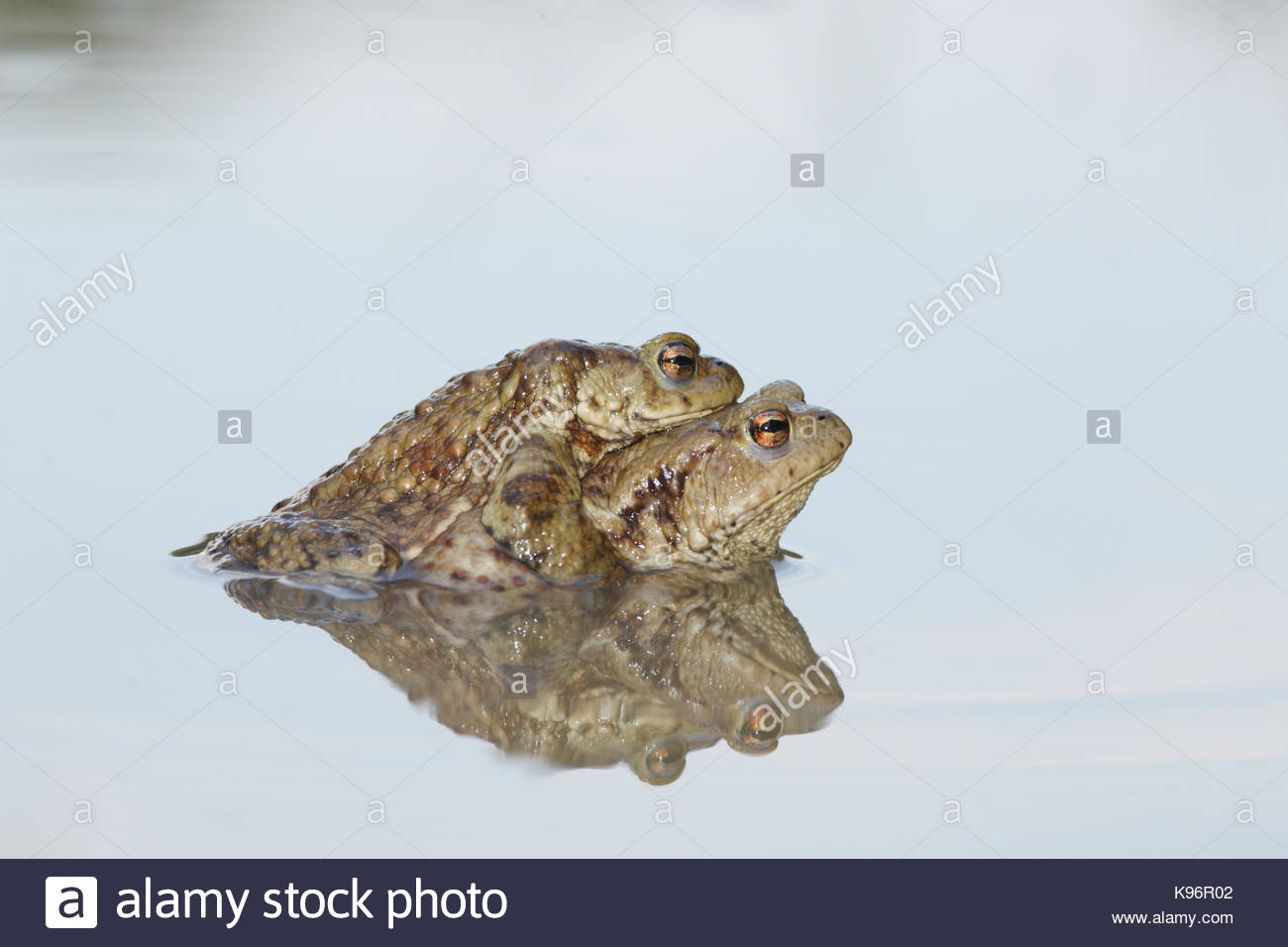 Common toads, Bufo bufo, in mating position called amplexus. - Stock Image