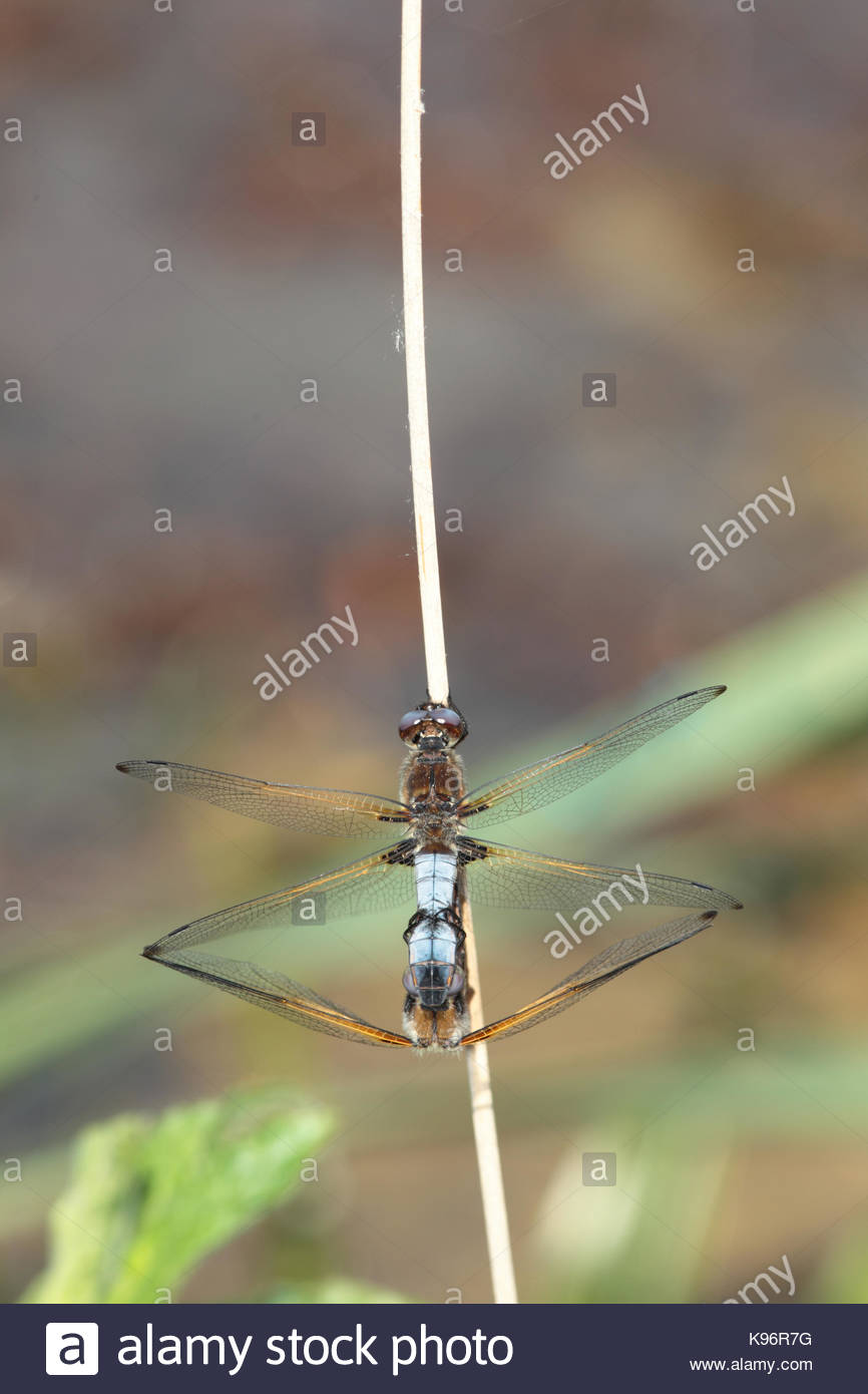Mating scarce chaser, Libellula fulva, dragonflies on a stem - Stock Image