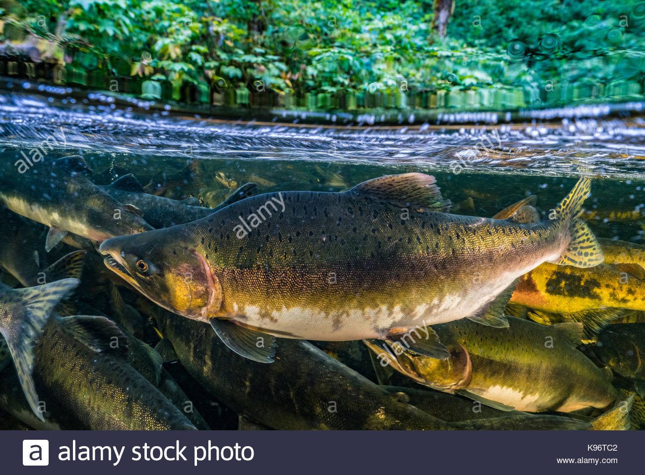 School of chinook salmon swim upstream to compete for spawning ground. - Stock Image