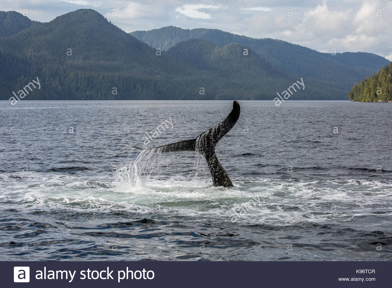A whale tail above the surface of the water. - Stock Image