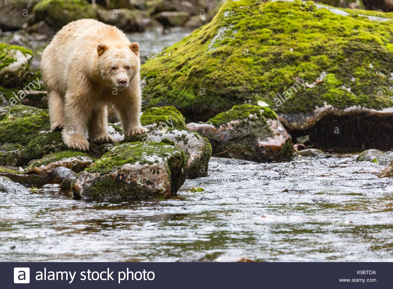 Kermode bear watches the river from a rocky shoreline. - Stock Image