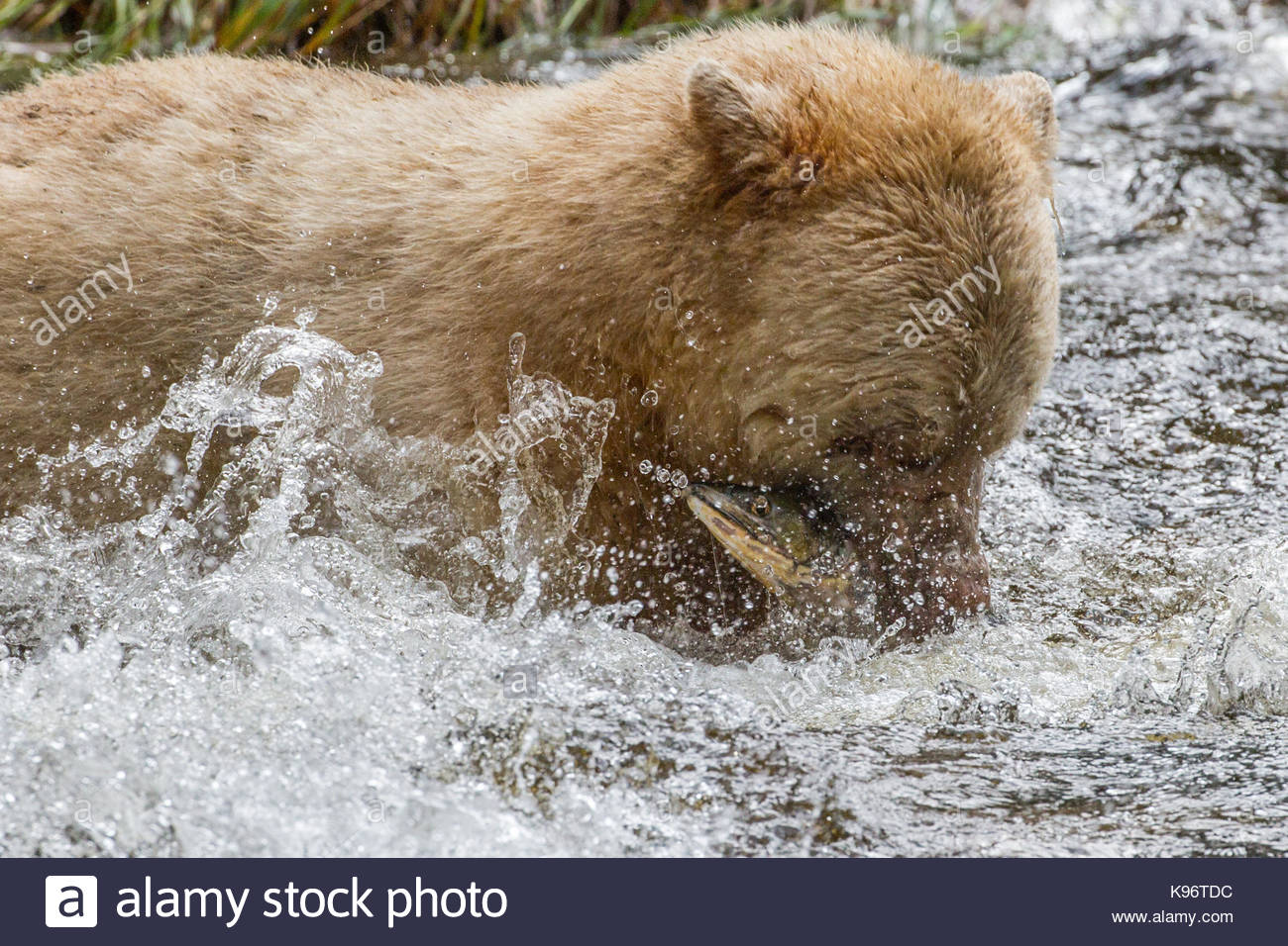 Kermode bear mid-catch in middle of splash. - Stock Image