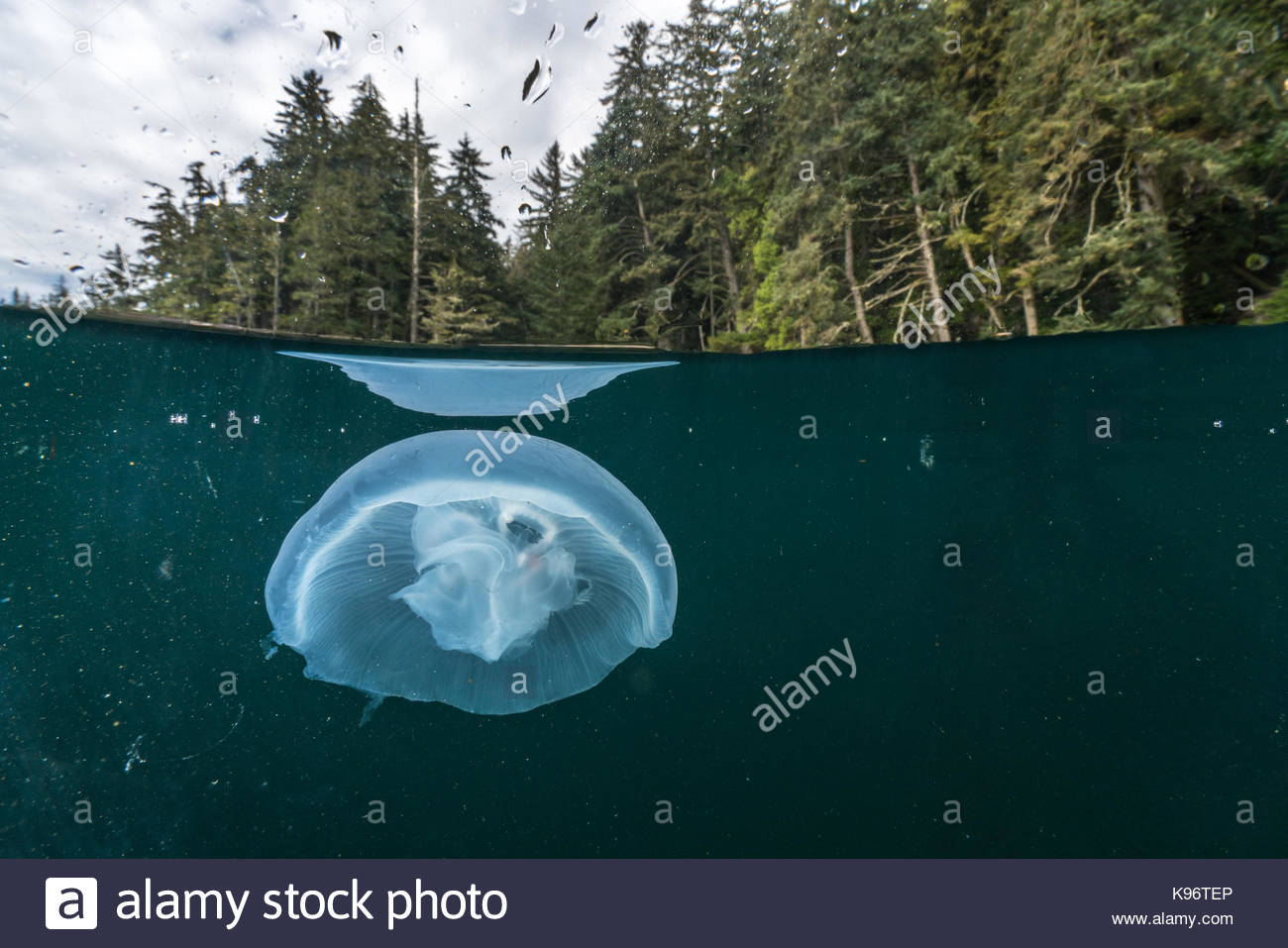A jellyfish near the surface of the water with its reflection. - Stock Image