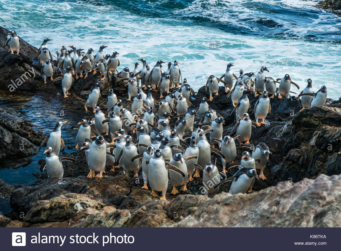 Lots of penguins waddling across a rocky outcrop. - Stock Image