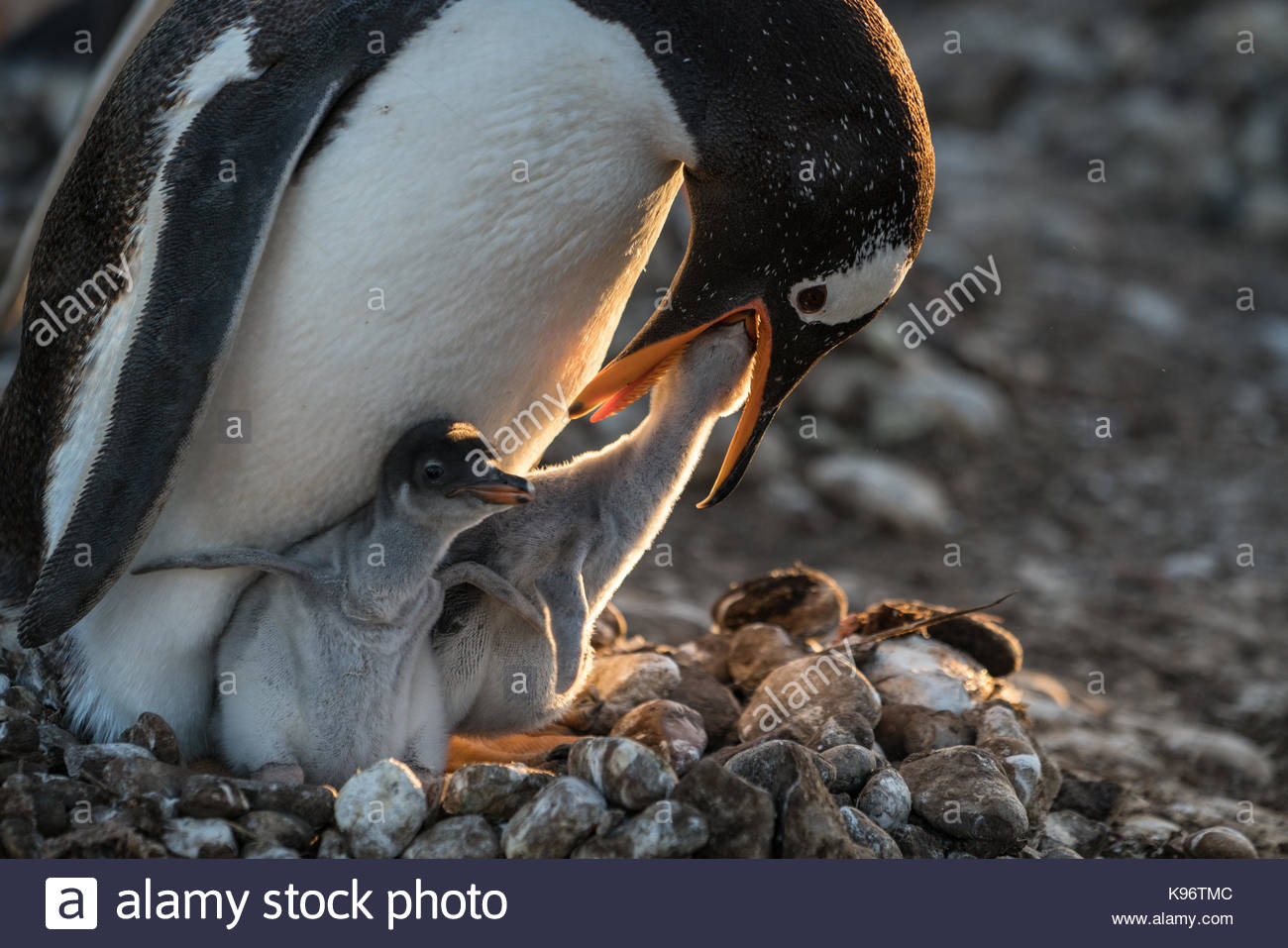 A nestling feeds through the mouth of an adult penguin. - Stock Image