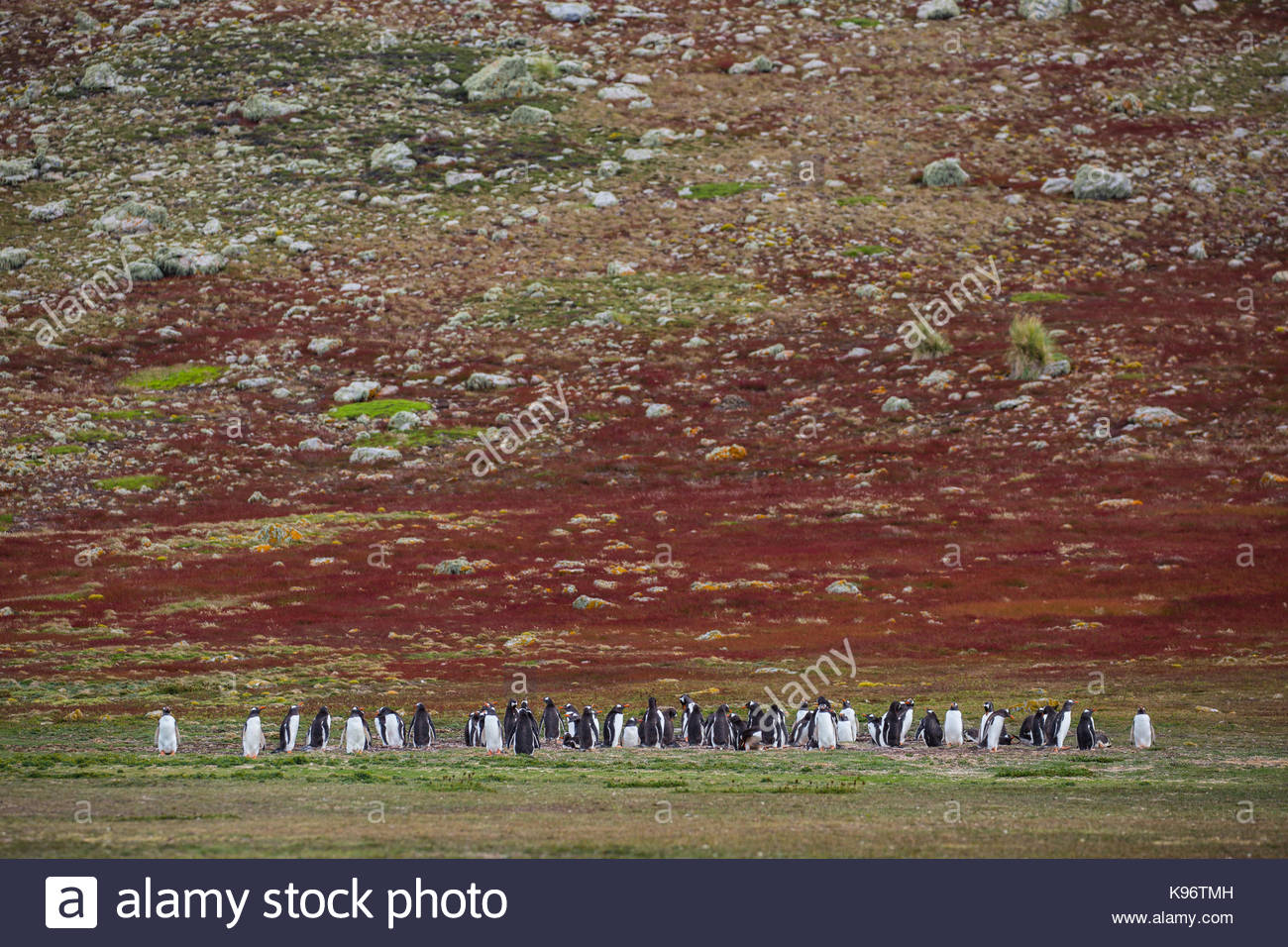 Penguins in the distance in front of a rolling red hill. - Stock Image