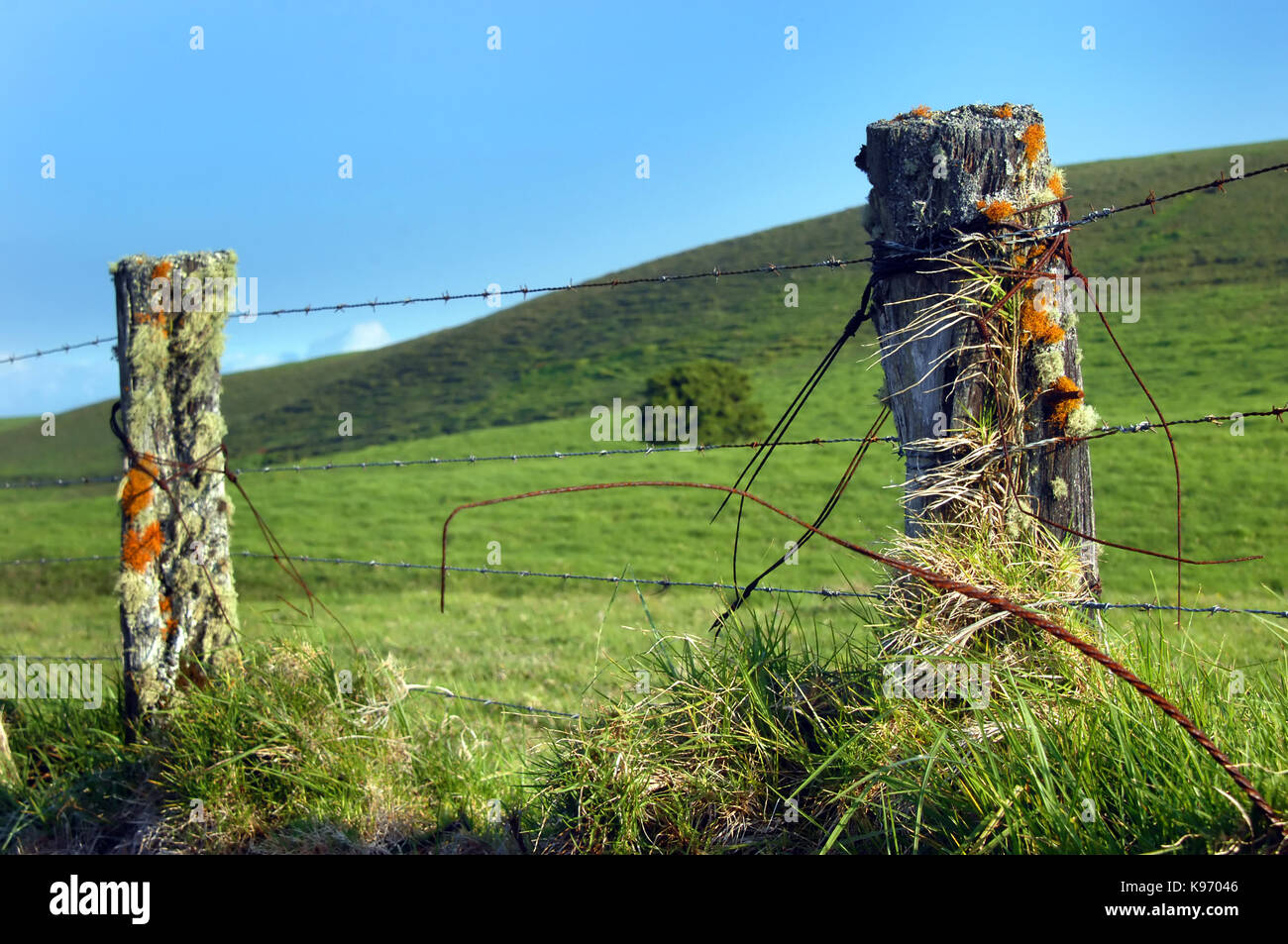 Upcountry fence on the Big Island of Hawaii is overgrown with lichen and mosses.  Barbed wire fences surround the Stock Photo