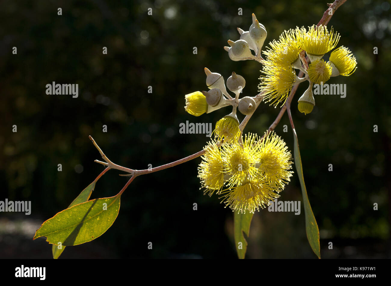 Close up of flower cluster and openning flower buds of Australian native gum, Eucalyptus woodwardii. Stock Photo