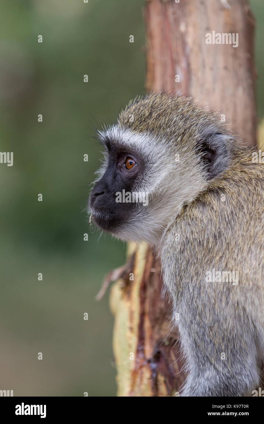Velvet Monkey in Tarangire National Park - Stock Image