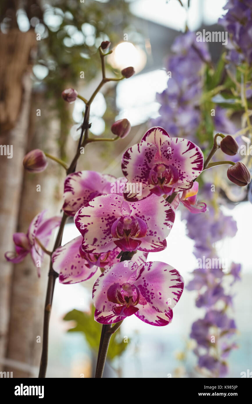 Close up of pink orchid in garden - Stock Image