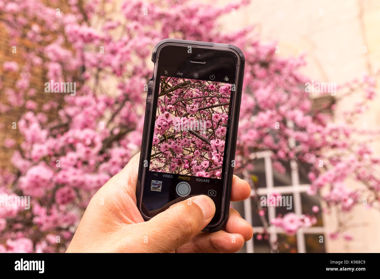 A male taking photo of pink cherry Blossom with an iPhone SE smartphone Stock Photo