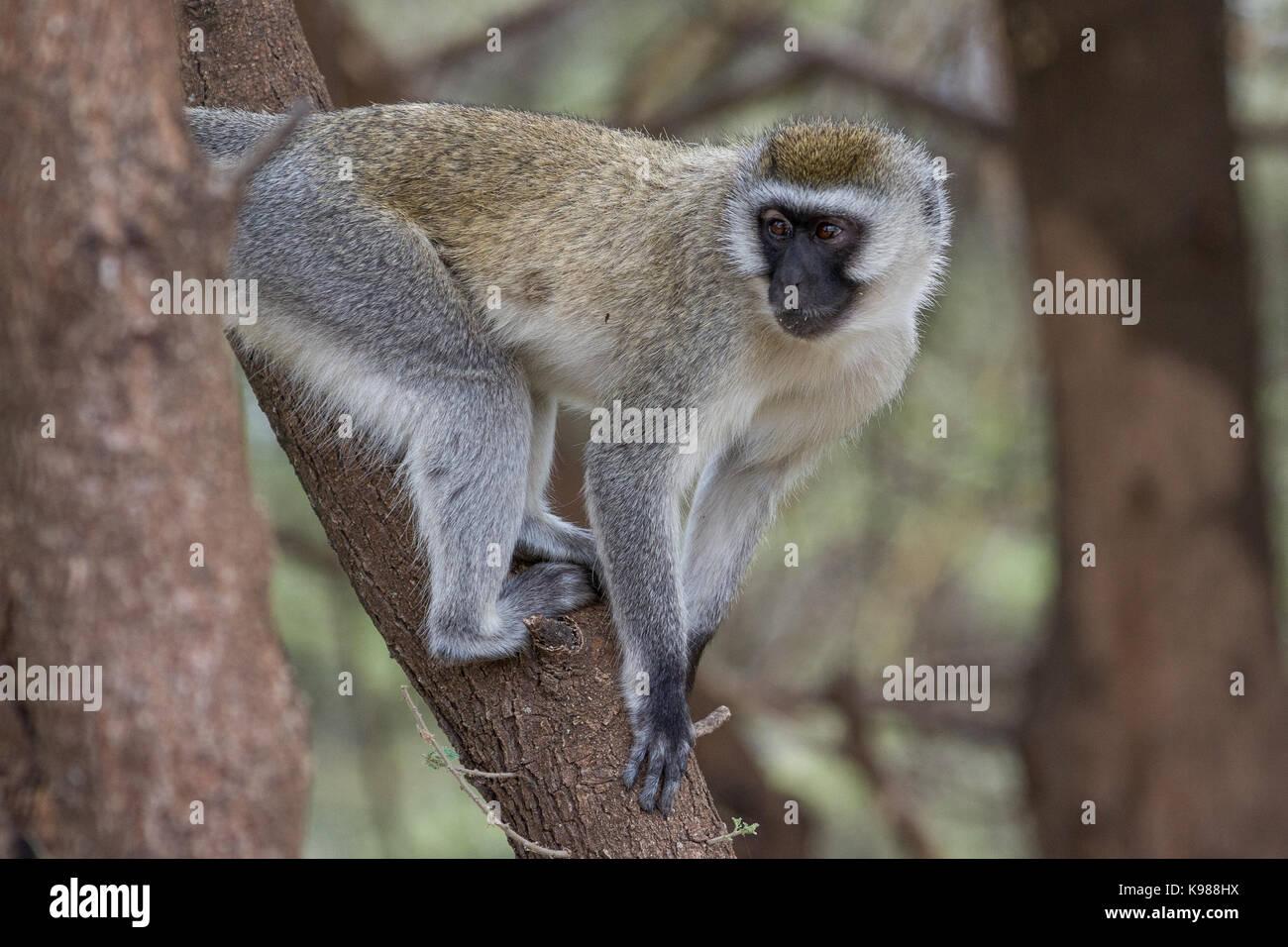 Velvet Monkey in Tarangire National Park Stock Photo