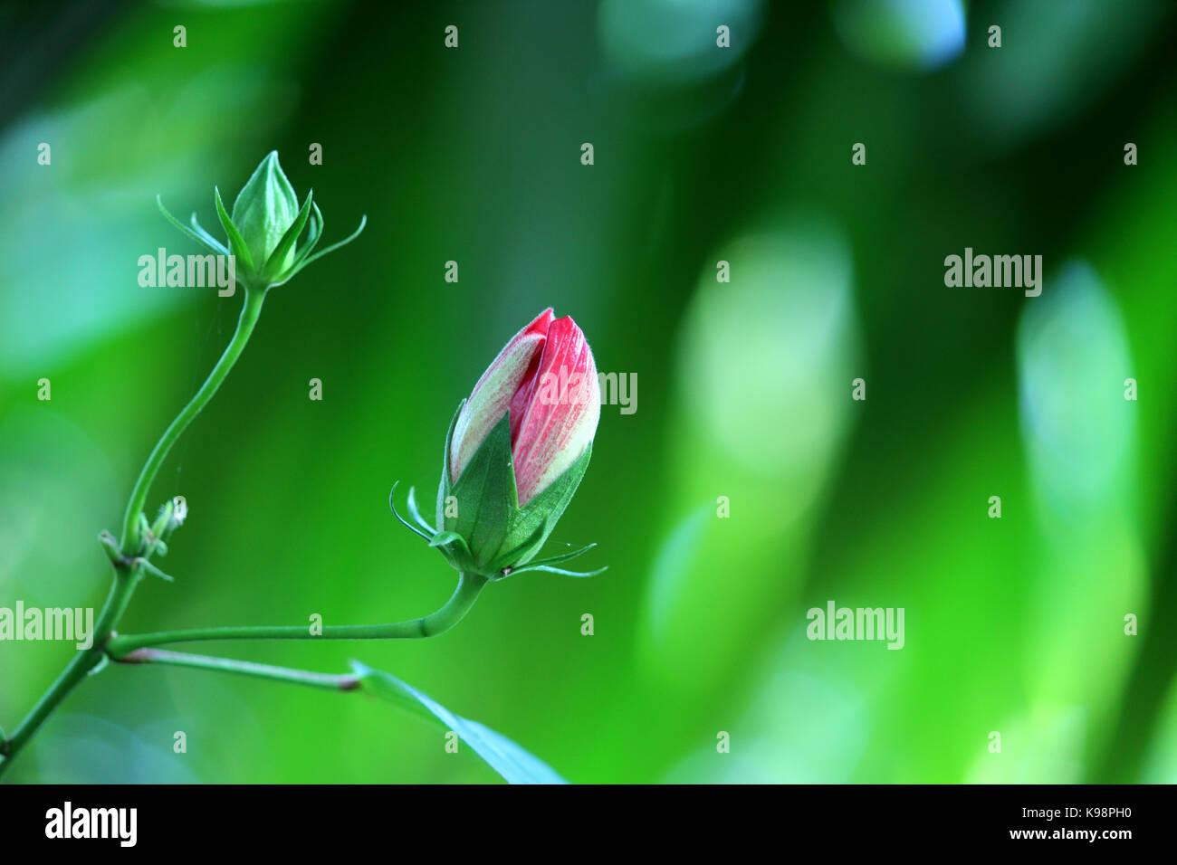 Flower Bud Stock Photo taken in Kerala, India - Stock Image