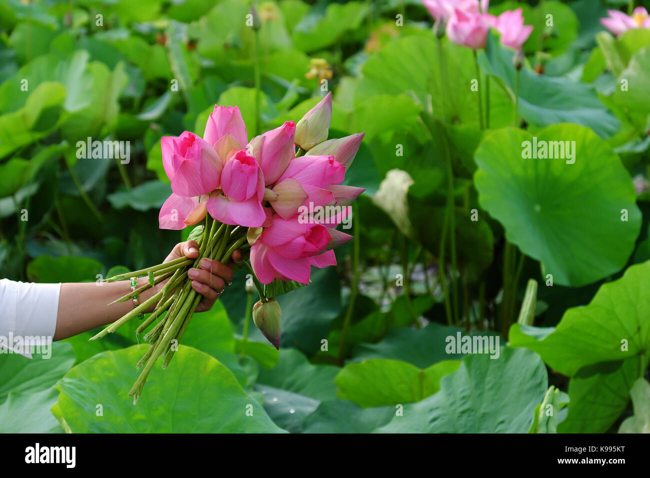Bouquet lotus stock photos bouquet lotus stock images alamy woman hand hold lotus flower bouquet just harvest from lotus pond pink flower beautiful on izmirmasajfo