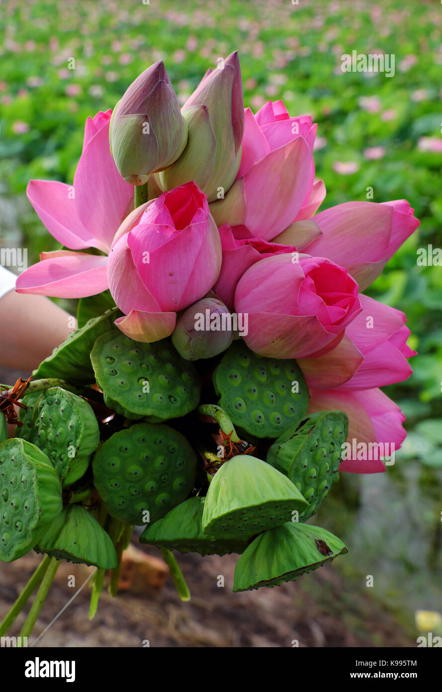 Bunch Of Lotus Stock Photos Bunch Of Lotus Stock Images Alamy