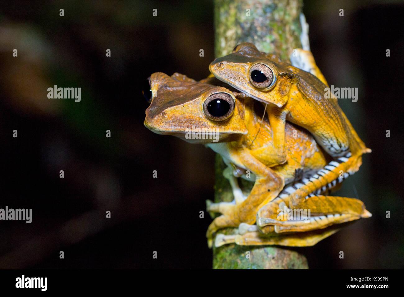 Polypedates otilophus (File-Eared Tree Frog) mating pair, Kubah National Park, Sarawak, Malaysia - Stock Image
