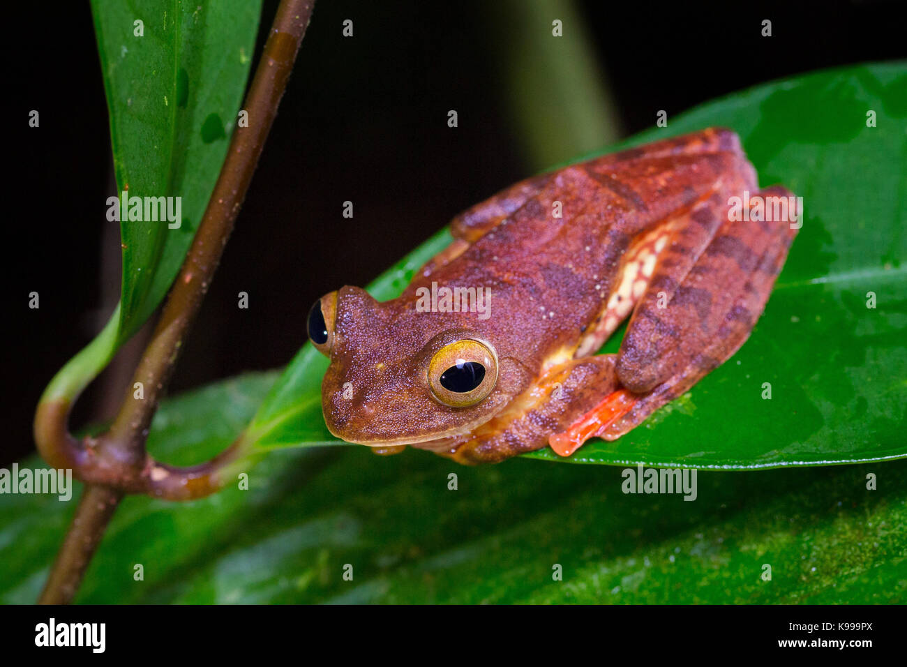 Harlequin Tree Frog (Rhacophorus pardalis), Kubah National Park, Sarawak, Malaysia - Stock Image
