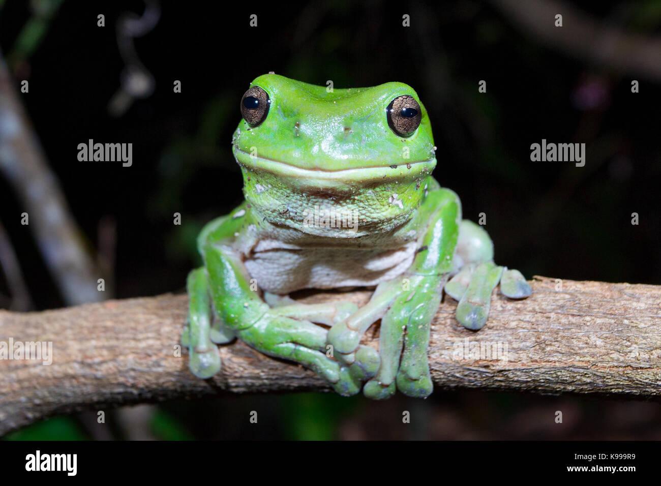 Australian Green Tree Frog (Litoria caerulea), Yuraygir National Park, NSW, Australia - Stock Image