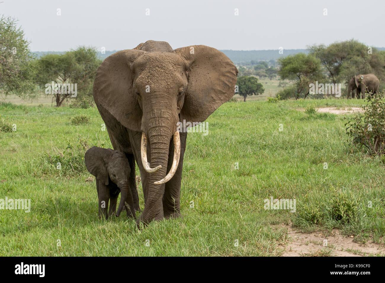 Elephants in Tarangire National Park - Stock Image