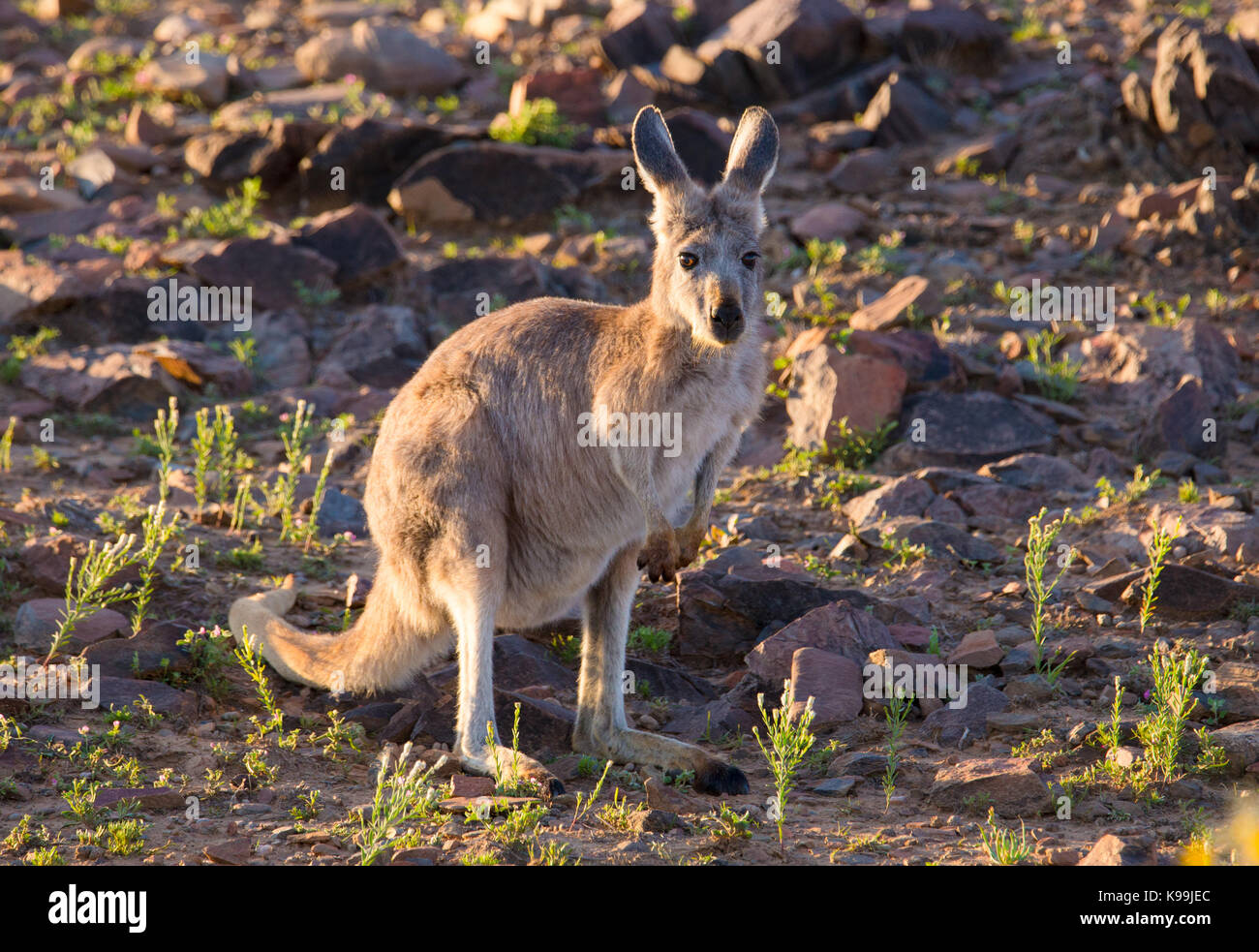 Common Wallaroo (Macropus robustus), Flinders Ranges, South Australia - Stock Image