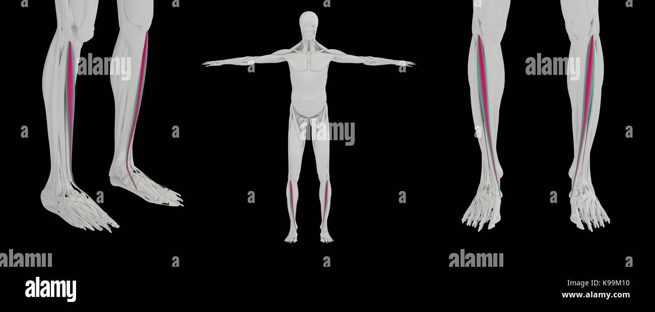 Tibialis Anterior Anatomical Stock Photos Tibialis Anterior