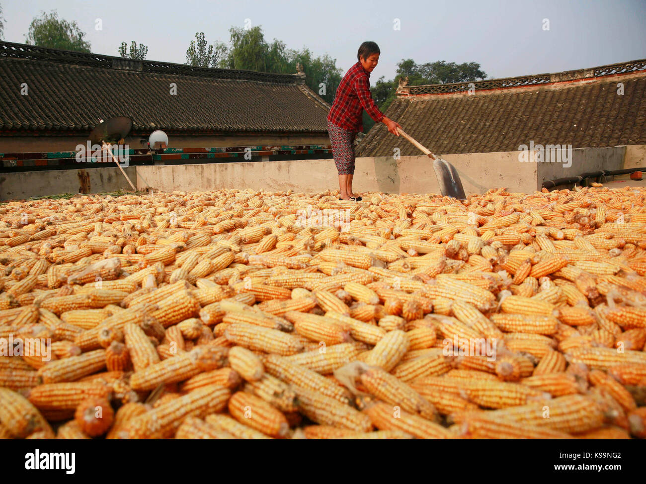 Pingdingshan, China's Henan Province. 21st Sep, 2017. Villager Li Xin airs the newly-harvested corns on the - Stock Image