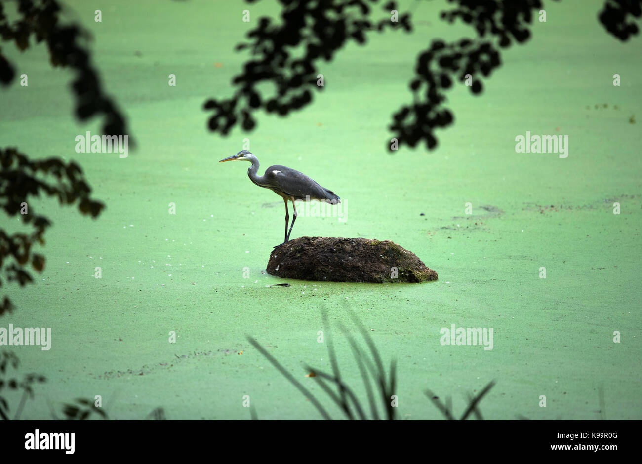 A heron stands on a small island and waits for food near Schwechow, Germany, 20 September 2017. Photo: Jens Büttner/dpa - Stock Image